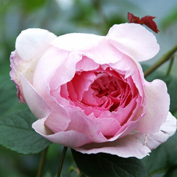 the_wedgwood_rose_m.jpg